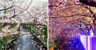 25 Fotos de cerezos en flor que te transportarán a un mundo realmente mágico