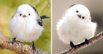 40+ Esponjosas imágenes de un pequeño pájaro que parece una bola de algodón