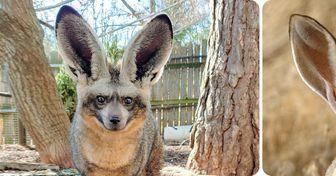 15 Animales con orejas tan grandes como la ternura que dejan en el corazón al verlos