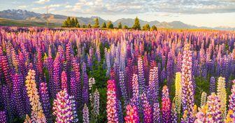 Mira el místico lago en Nueva Zelanda que está cubierto por miles de flores de altramuz