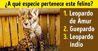 Test: Pon a prueba tus conocimientos sobre felinos y adivina el nombre de cada especie