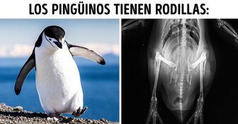 20 Datos divertidos sobre los pingüinos que no aprendimos en las clases de biología