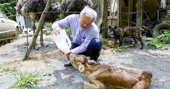 Qué pasa en Fukushima 8 años después del accidente nuclear (Japoneses valientes viven allí para salvar a los animales)