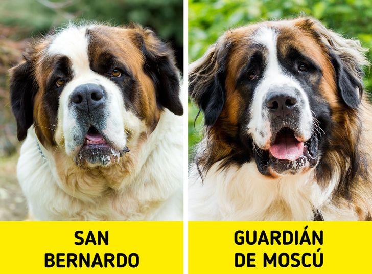 11 Pares de razas de perros que incluso un experto en canes podría confundir