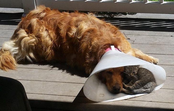 """20 Mascotas que han tenido un día difícil usando el """"cono de la vergüenza"""""""