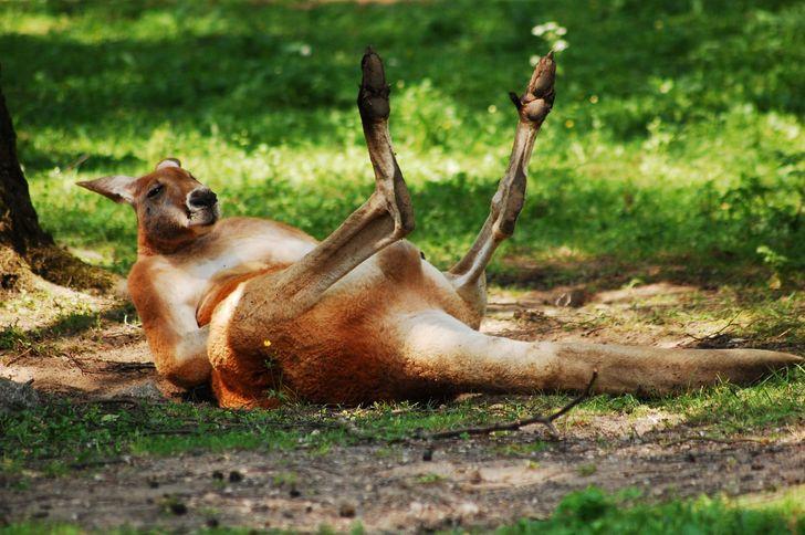 20 Lindas fotos de canguros y curiosos datos que quizá desconocías