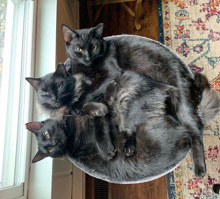 20 Pruebas de que tener un gato negro como mascota puede ser más especial de lo que creemos