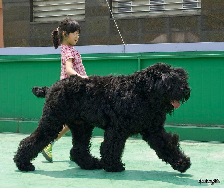 11 Razas de perros cuyo tamaño los posiciona como los bellos gigantes del mundo canino