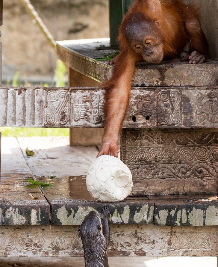 En un zoológico belga, una familia de orangutanes creó un vínculo amistoso con unas pequeñas nutrias