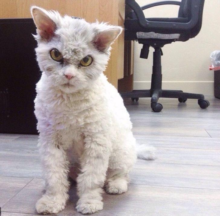 18 Gatitos lanudos que te robarán el corazón con sus rizos