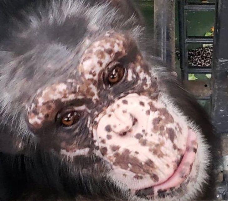 15+ Animales que viven con vitíligo y se ven peculiarmente hermosos