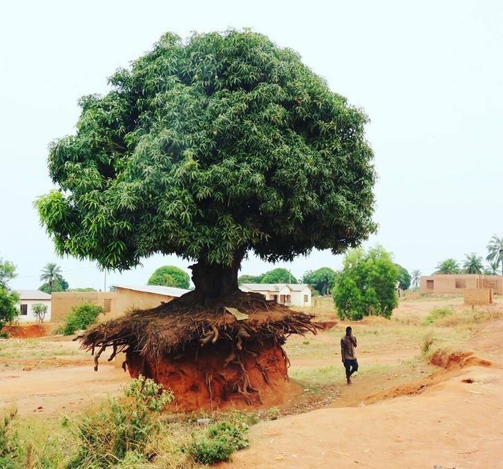 19 Árboles cuyo deseo de vivir es tan fuerte, que pueden sobrevivir a cualquier cosa