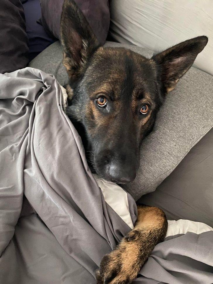 25+ Pruebas de que ninguna raza de perro a la moda disminuirá nuestro amor hacia el pastor alemán
