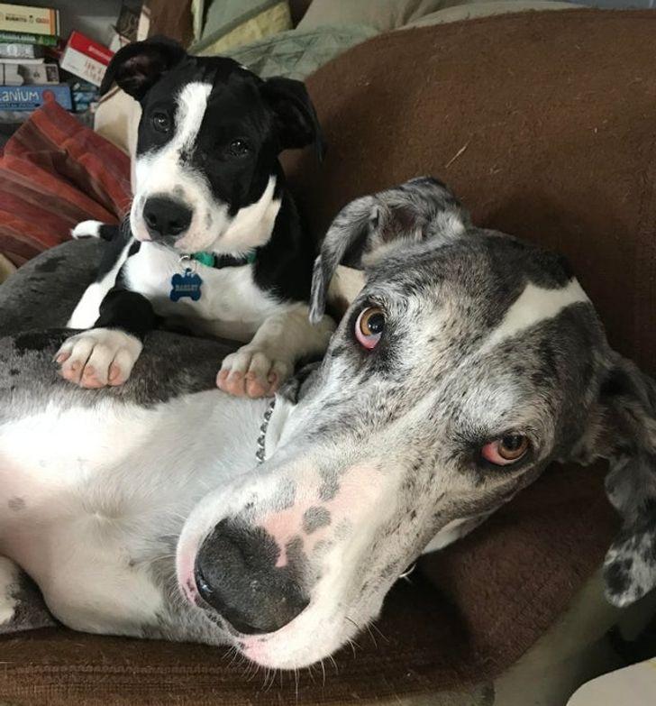 20+ Perros que no pudieron disimular su desconcierto ante la llegada de un nuevo integrante a la familia