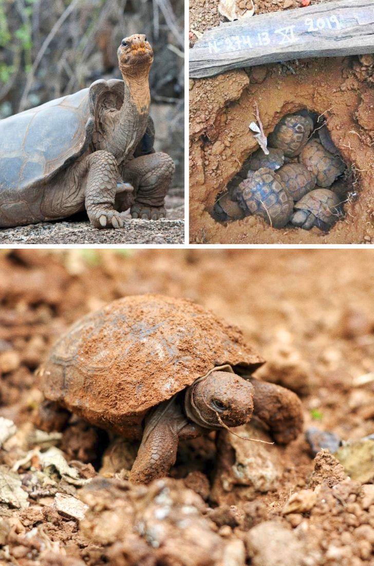 Diego, la tortuga que salvó a su especie de la extinción, regresó a su casa después de 80 años